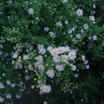ASTER vimineus 'Lovely' (Lyngasters)