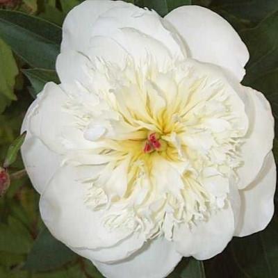 PAEONIA lactiflora 'Immaculee' (Silkepæon)