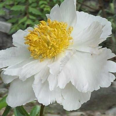PAEONIA lactiflora 'Krinkled White' (Silkepæon)