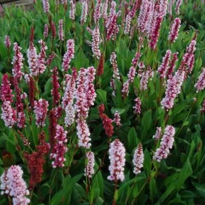 PERSICARIA affine 'Dajeeling Red' (Pileurt)