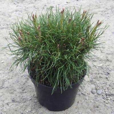 Pinus mugo 'Pumilio' - salgsbredde.: 15-20 cm. - Dværgfyr (NP)