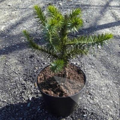 Araucaria araucana - salgshøjde.: 30-40 cm. - Abetræ