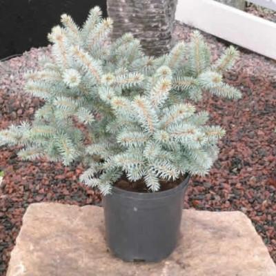 Picea pungens 'Globosa' - salgshøjde.: 20-30 cm. - Dværgblågran (NP)