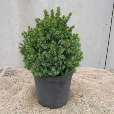 Picea glauca 'Alberta Globe' - salgshøjde.: 12-25 cm. - Dværggran (NP)