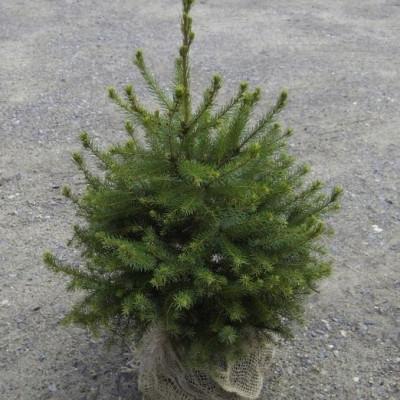 Picea omorika - salgshøjde.: 60-80 cm. - Serbisk Gran (NP)