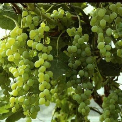 Vitis vinifera 'Himrod' (Vindrue) - Salgshøjde: 40-60 cm.