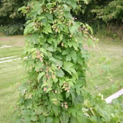Humulus lupulus (Humle) salgshøjde 0-60 cm.