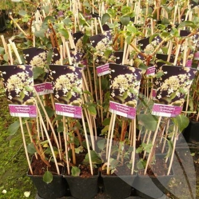 Hydrangea anomala ssp. petiolaris (Klatrehortensia) salgshøjde 20-50 cm.