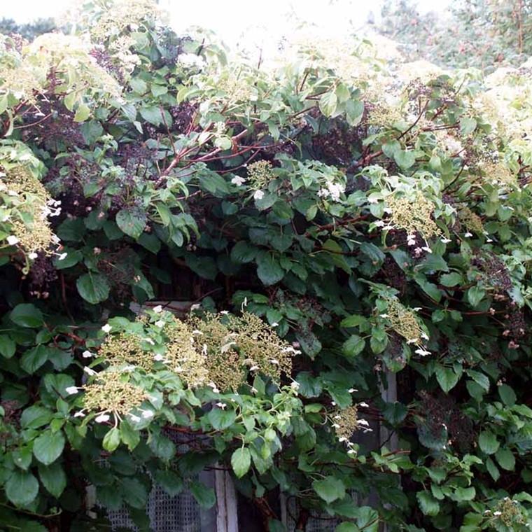Hydrangea anomala ssp. petiolaris (Klatrehortensia ) salgshøjde 80-100 cm.