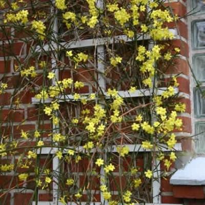 Jasminum nudiflorum (Vinterjasmin) salgshøjde 20-50 cm.
