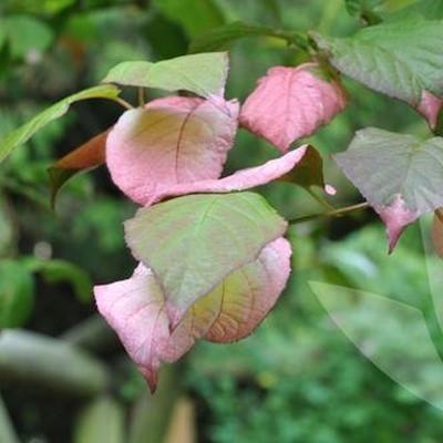 Actinidia kolomikta (Kameleonbusk) salgshøjde 20-50 cm.