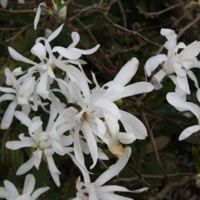 Magnolia stellata 'Royal Star' Salgsh. 60-80 cm. - Magnolie