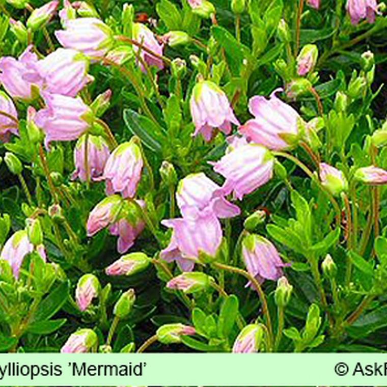 x Phylliopsis 'Mermaid' Salgsh. 5-10 cm. (GS)