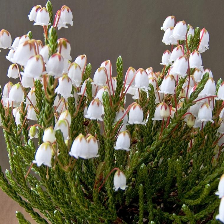 Cassiope hybrid 'Badenoch' Salgshøjde 5-10 cm. - Kantlyng (GS)