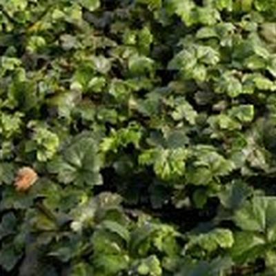 Waldsteinia ternata - Guldjordbær - (48+ m2) Færdig Bunddække