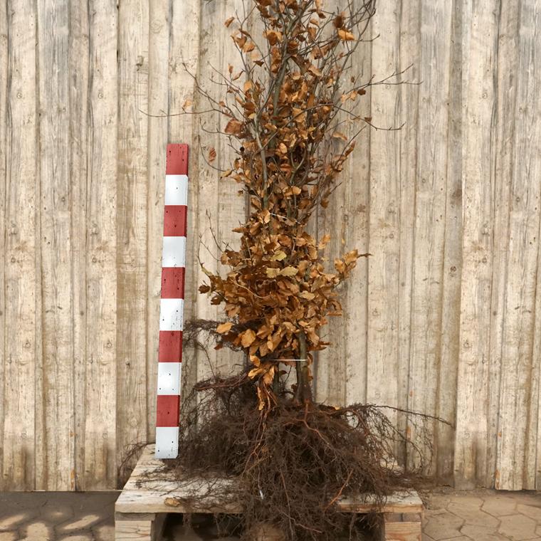 Fagus sylvatica (Alm. Bøg) Salgshøjde: 4 års 120-150 cm. (Barrodet bundt m/5 stk)