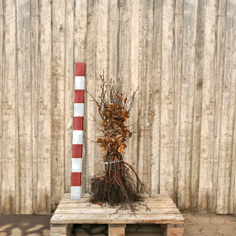 Fagus sylvatica - Alm. Bøg - Salgshøjde: 3 års 30-50 cm. (Barrodet)