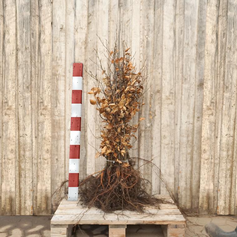 Fagus sylvatica (Bøg) Salgshøjde: 3 års 50-80 cm.  (Barrodet bundt m/10 stk)