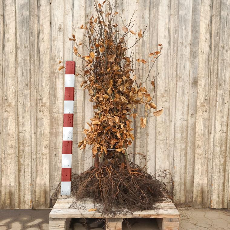 Fagus sylvatica (Alm. Bøg) Salgshøjde: 3 års 80-120 cm. (Barrodet)