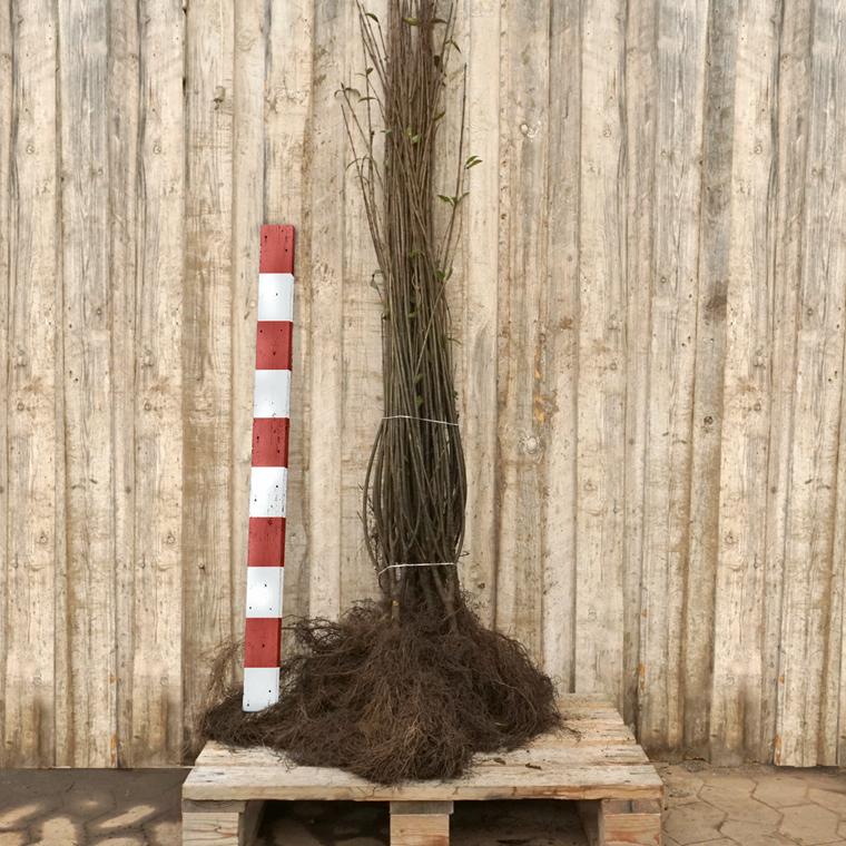 Ligustrum vulgare 'Liga' (Liguster) Salgshøjde: 2 års 90-120 cm.  (Barrodet)
