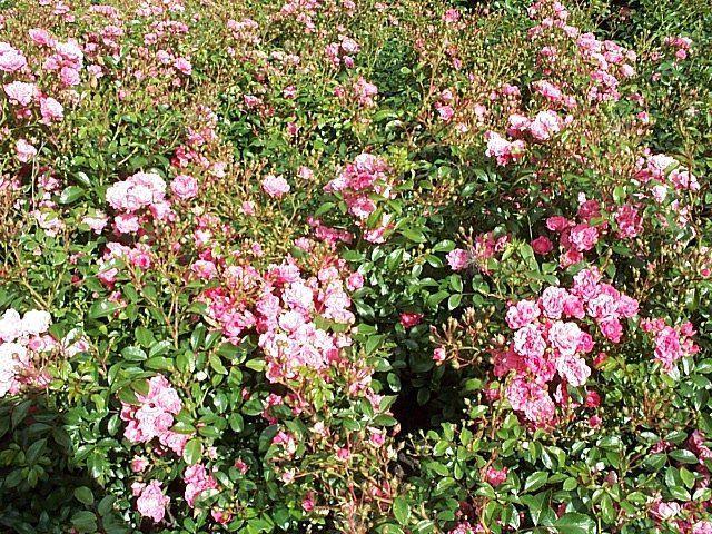 Rose Pink Fairy (bunddækkerose)  , barrotad
