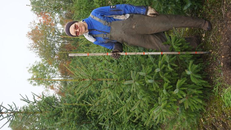Picea omorika - salgshøjde.: 150-175 cm. - Serbisk Gran