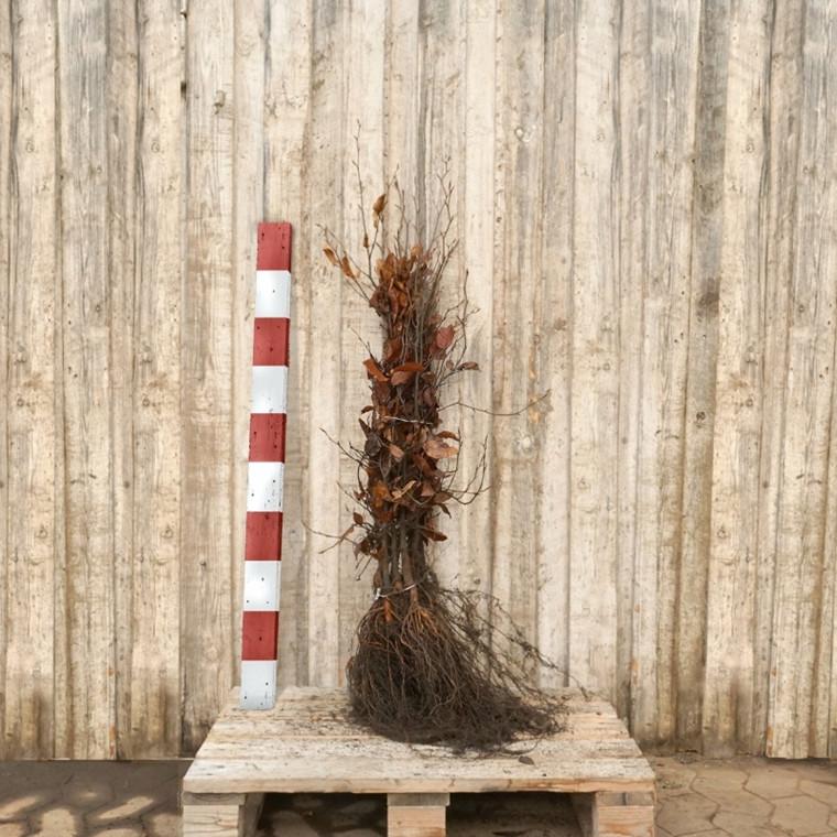 Fagus sylvatica - Alm. Bøg - Salgshøjde: 2 års 50-80 cm. (Barrodet)