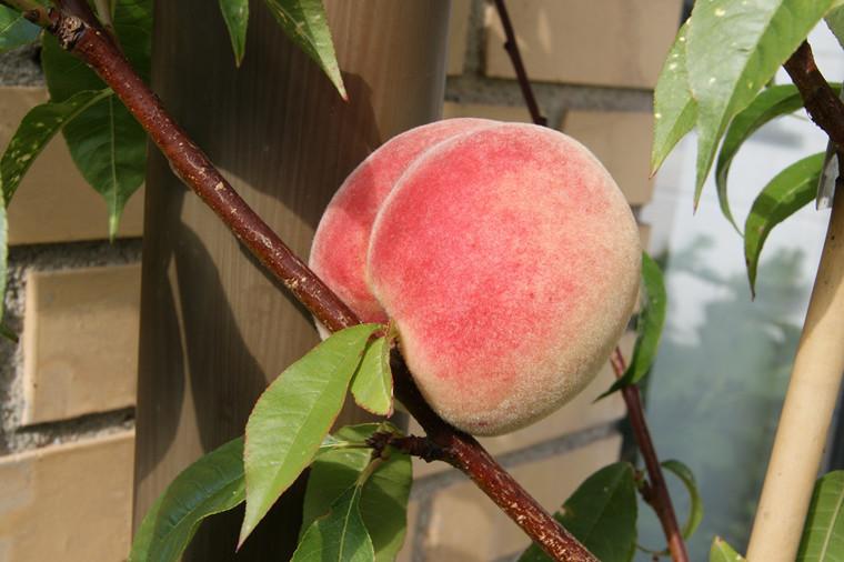 Prunus persica 'Revita' - salgshøjde: busk/lille træ 80-180 cm. - Fersken