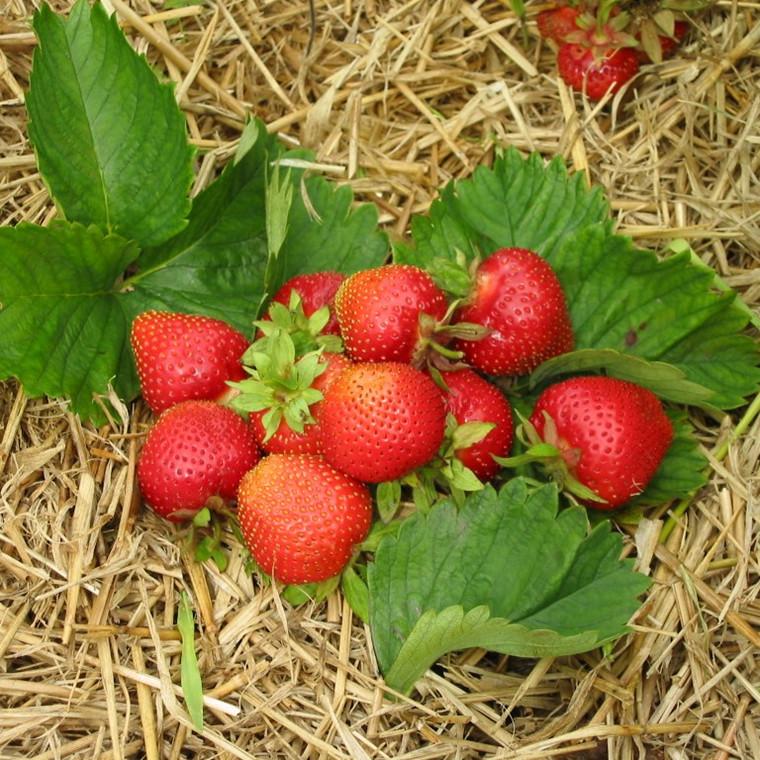 Fragaria × ananassa 'Symphony' (Jordbær) - 5 stk