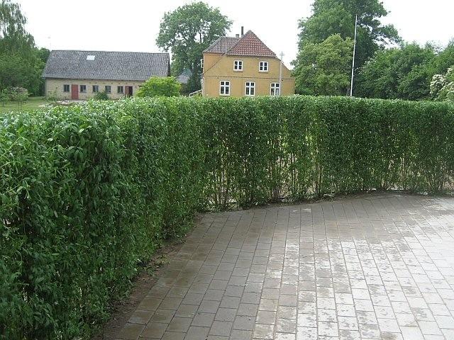Ligustrum vulgare 'Liga' ( Liguster) Salgshøjde: 2 års 60-90 cm.  (Barrodet)