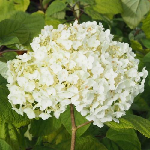 Oak Arbor Grille Pa: Hydrangea Arbor. 'Strong Annabelle': (Træagtig Hortensia