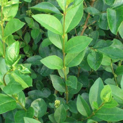 Ligustrum ovalifolium ( Storbladet Liguster) Salgsh: 30-50 cm.  (Barrodet bdt m/25 stk)