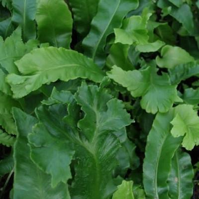 Asplenium scolopendrium 'Cristata' (Kruset el. bølget Hjortetunge)
