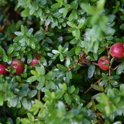 Vaccinium macrocarpon 'Stevens' (Tranebær) - Salgshøjde: 5-10 cm