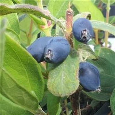 Lonicera kamt. 'Blue Velvet' (Honningbær - Blåfrugtet gedeblad (FJ)) - salgshøjde 30-50 cm.