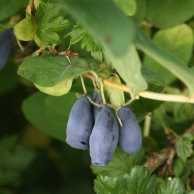 Lonicera kamt. 'Eisbär' (Honningbær - Blåfrugtet gedeblad (FJ)) - salgshøjde 30-50 cm.