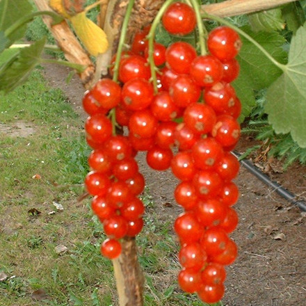 Ribes rubrum 'Stanza' (Ribs)  - Salgshøjde: 30-50 cm.