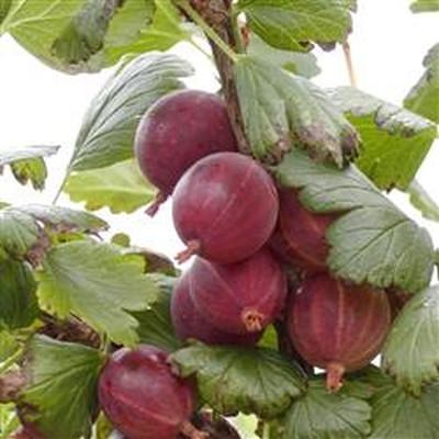 Ribes uva-crispa 'Rød Hinnomäki' - (Opstammet stikkelsbær) - Salgshøjde: 80-100 cm.
