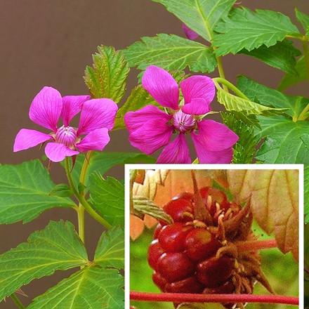 Rubus x stellarcticus 'Anna' - (Allåkerbær)