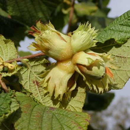 Corylus 'Cosford'. (Hasselnød - Nød) - Salgshøjde: 50-80 cm.
