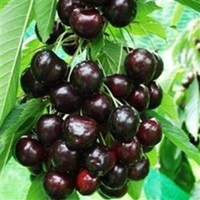 Kirsebærtræ 'Kordia' - salgshøjde  130-175  cm.