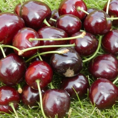 Kirsebærtræ 'Lapins' -salgshøjde:  130-175 cm.