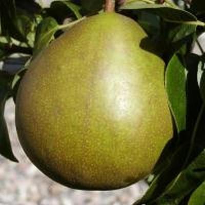 Pæretræ 'Clara Frijs' -salgshøjde: 130-175 cm.