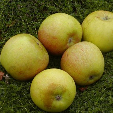 Æbletræ 'Cox Orange' -salgshøjde: 130-175 cm.