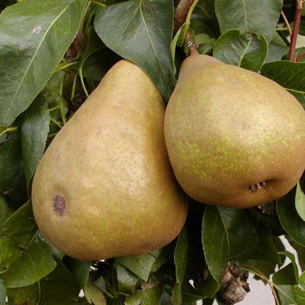 Pæretræ 'Williams' -salgshøjde: 130-175 cm.