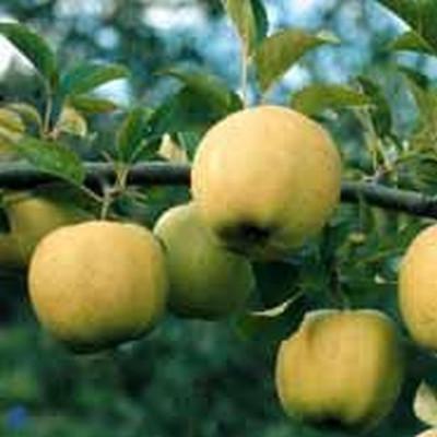 Æbletræ 'Golden Delicious' -salgshøjde: 130-175 cm.