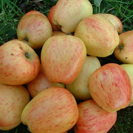 Æbletræ 'Guldborg'-salgshøjde: 130-175 cm.