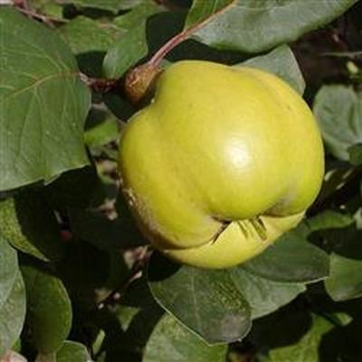 Cydonia oblonga 'Vranja'. (Pærekvæde) Busk -salgshøjde: 80-100 cm.