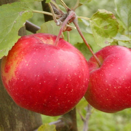 Æbletræ 'Ritt Bjerregaard' - salgshøjde 130-175 cm.