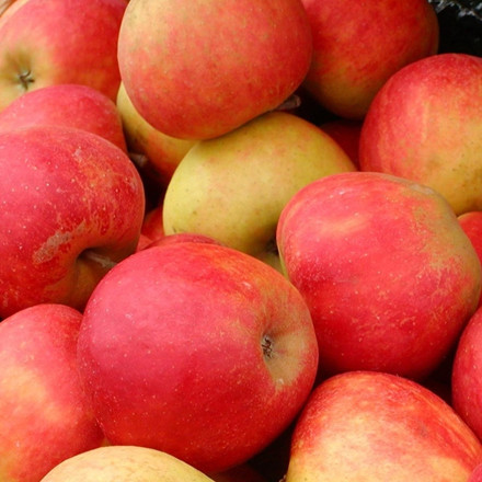 Æbletræ 'Rød Elstar' (Espalier) -salgshøjde: 130-175 cm.